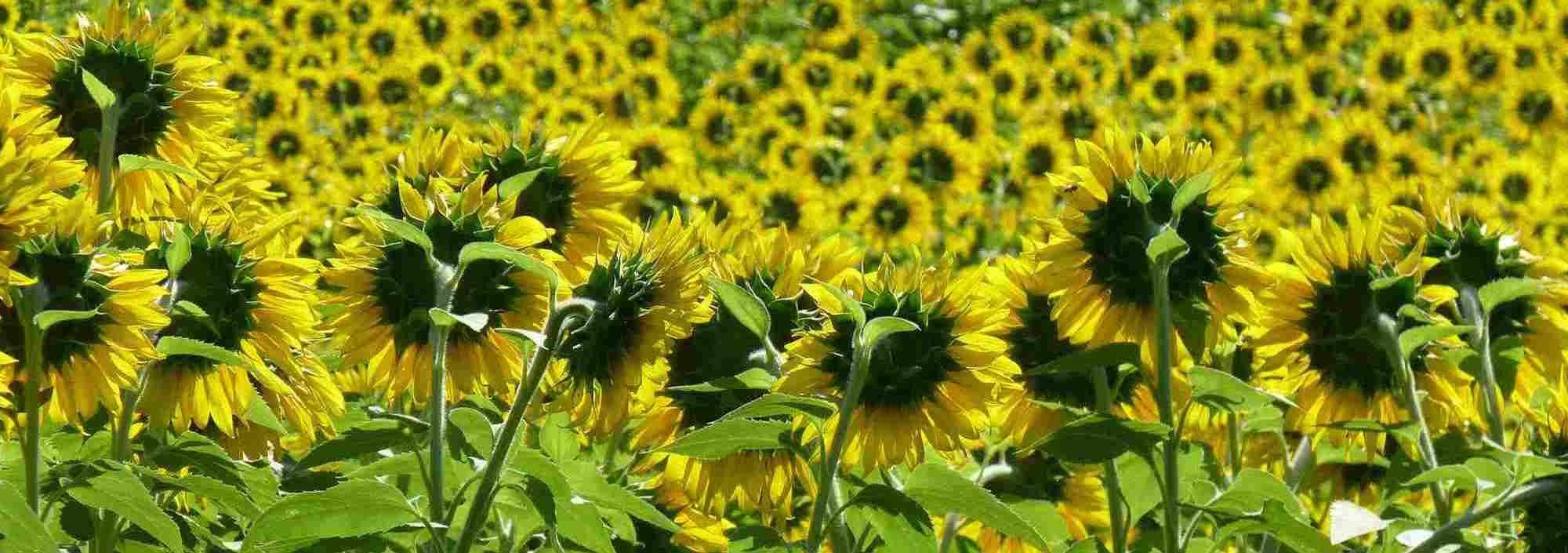 Biofuel Sunseed field